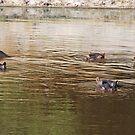 Synchronised Hippos, Boteti River, Leroo La Tau Botswana, Africa by Adrian Paul