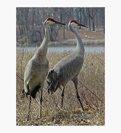 Cherokee Marsh Sandhill Cranes  Photographic Print