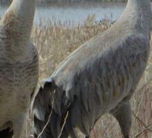 Cherokee Marsh Sandhill Cranes  Sticker