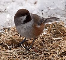 Boreal Chickadee  2 by lloydsjourney