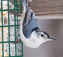 White Breasted Nuthatch by lloydsjourney