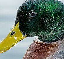 Mallard Close-Up by Bonnie T.  Barry