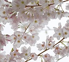 Cherry Blossom by Olga Zvereva