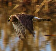 Northern Harrier Hawk Observation  by Chuck Gardner
