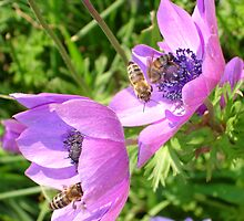 Honey Bees Feeding On  Pink Anenome Flower Blossom by taiche