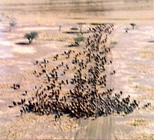 Aviation series - cattle mustering by Casey Herman