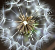 Dandelion by Centralian Images
