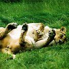 Flirty Lioness... by stellaozza