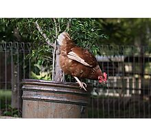 Larger chook Photographic Print