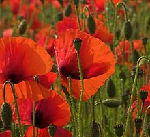 SUNLIT POPPIES by outwest photography.co.uk