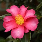Camellia by Elaine Teague