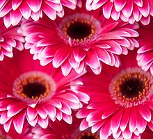 Pink Gerbera 2. Amsterdam Flower Market by JennyRainbow