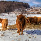 Scottish Highland Cattle by BigD