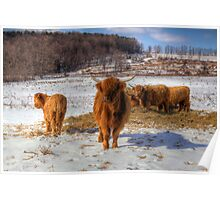 Scottish Highland Cattle Poster