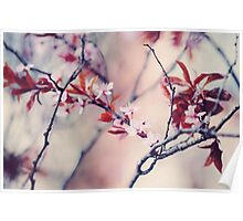 Icy Cherry Bloom. Pink Spring in Amsterdam Poster