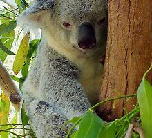 Tree Hugger Koala Australia by sandysartstudio