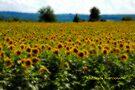 Gaussian Sunflower field  by PJS15204