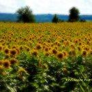 Gaussian Sunflower field  by PJS15204