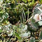 Dewdrops Like Diamonds, Cradle Mountain, Tasmania, Australia. by kaysharp
