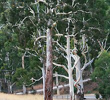 Candlebark Gums - Sinclair's Gully Winery by LeeoPhotography