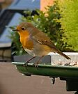 Robin Watching by davesphotographics