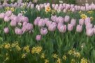 Lavender Tulips by Elaine Teague