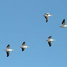 White Pelican Formation by Virginia N. Fred