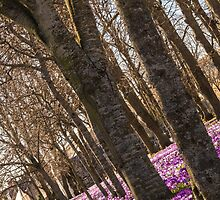 Blanket of Crocuses by kt-photography