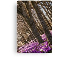 Blanket of Crocuses Canvas Print