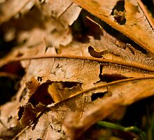 Ragged Leaf by RolandTumble