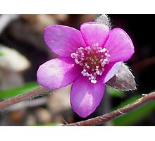 First Hepatica of the season  Photographic Print