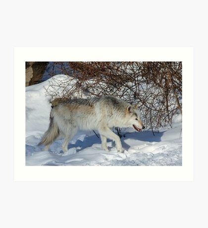 Rocky Mountain gray wolf Art Print