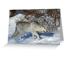 Rocky Mountain gray wolf Greeting Card