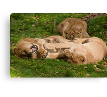 Stop Tickling Me (Asiatic Lion's) Dudley Zoo England Canvas Print