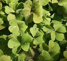 Dew on the Clover by paulboggs