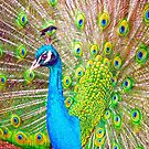 Peacock  by ANDREW BARKE