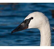 Trumpeter Swan Portrait Photographic Print