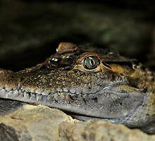 Philippine Crocodile by Dennis Stewart