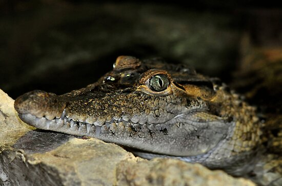 Philippine Crocodile by Dennis Stewart