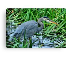 Great Blue on the Hunt Canvas Print