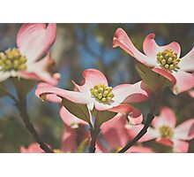 Pink Dogwood Blossoms Photographic Print