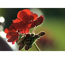 Backlit Red Photographic Print