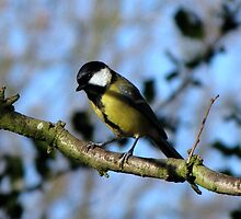 Great Tit by Sharon Perrett