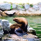 Sleeping seal by stellaozza