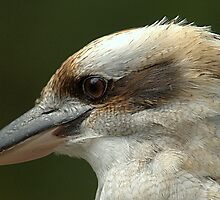 Kookaburra III by Tom Newman