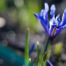 Blue iris and bokeh by benivory
