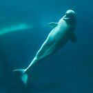Smiling Beluga Whale by sandnotoil