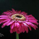 Pink Gerbera by Susan E. King