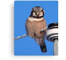 Northern Hawk Owl 4 Canvas Print