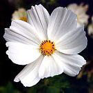 Big Daisy in Mum's Garden by stellaozza